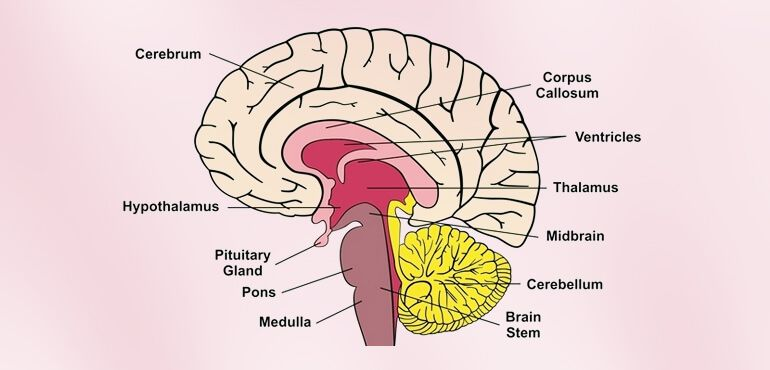 Human Brain Facts For Adults