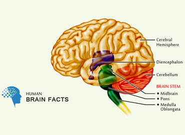 Hindbrain midbrain and forebrain diagram wiring diagram human brain structure and their functions in human body rh humanbrainfacts org parts of the brain diagram the lobes and cortex of brain ccuart Image collections