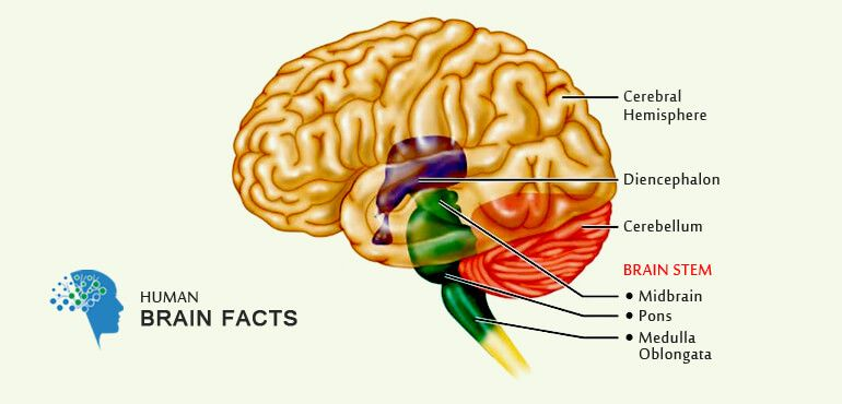 Brain information basic information about human brain ccuart Image collections