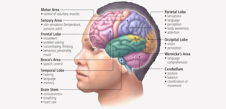 Human Brain Structure and Their Functions in Human Body