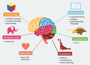 Human brain functions functioning of human brain with diagram brain facts for kids ccuart Choice Image