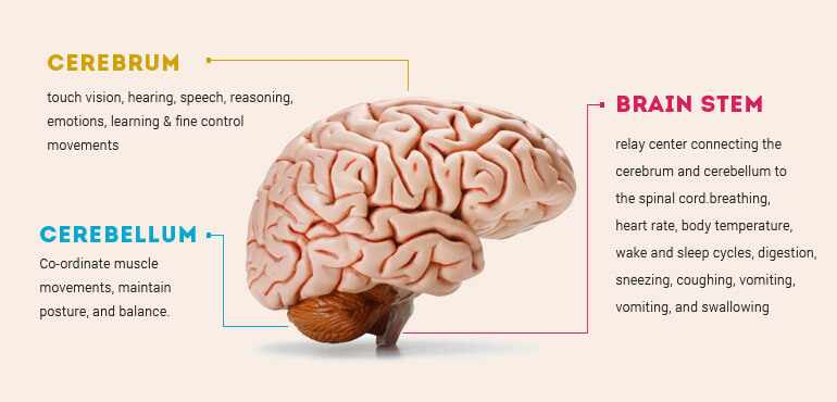 Human Brain Anatomy - Components of Human Brain with Images