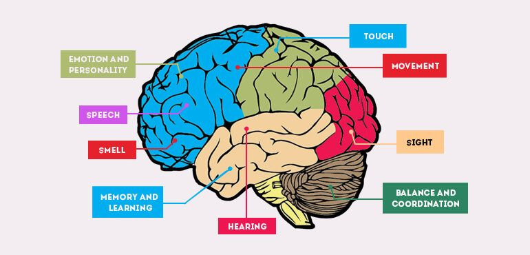 Interesting Brain Facts For Kids Fun Facts About Human Brain