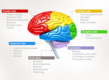 brain and brain functions worksheet answers