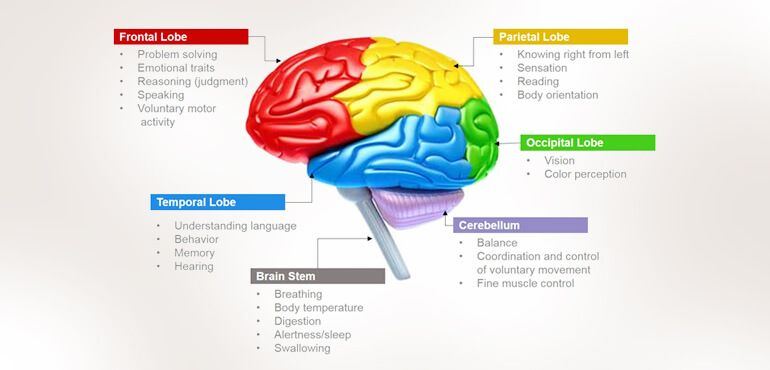 human brain functions functioning of human brain with diagram Printable Diagram of the Brain