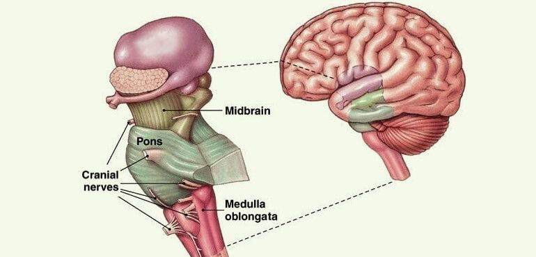 Human Brain Information - Brain Stem