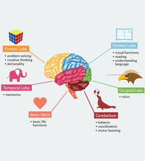Human brain functions functioning of human brain with diagram interesting brain facts for kid ccuart Gallery