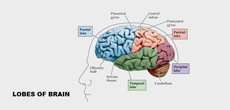 Human brain structure and their functions in human body the motor function judgement and problem solving is accomplished in the frontal lobes the temporal lobes of the brain are associated with the processing ccuart Images