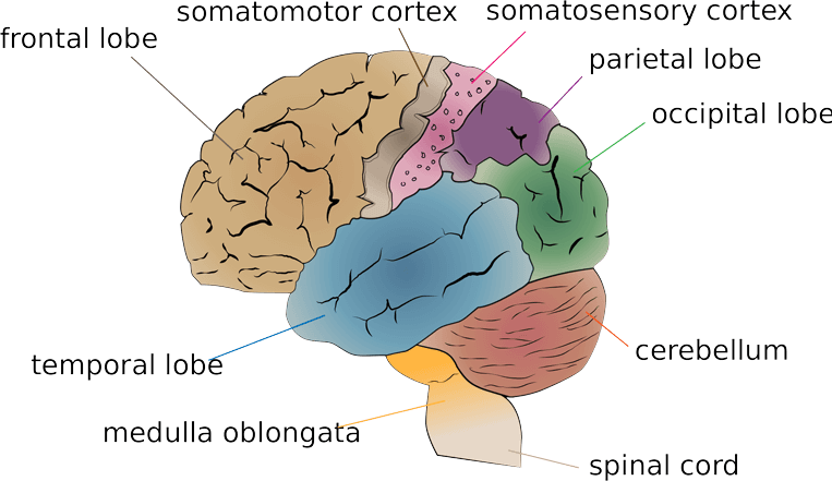 human brain facts about parts etc - humanbrainfacts, Human Body