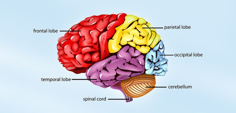 the brain control system of the different body parts The central nervous system consists of the brain and the spinal cord, which serve as the main control centers for the body and process all incoming and outgoing messages.