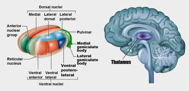 What Is Thalamus and How It Looks Like?
