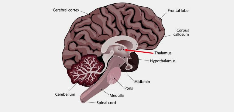 What is Thalamus Responsible for?